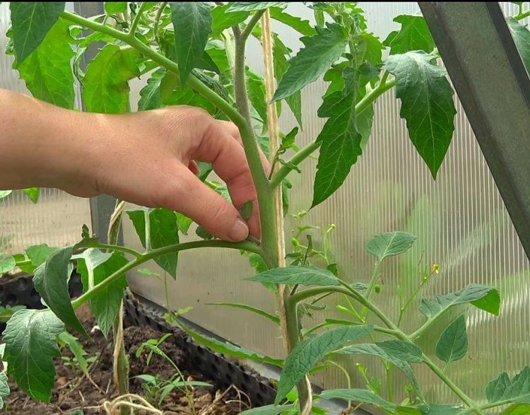 Как пасынковать помидоры в теплице: пошаговые схемы и видео