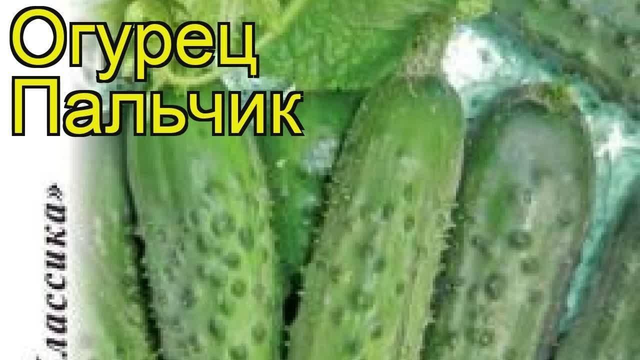 Раннеспелый огурец с романтическим названием музыкальные пальчики f1: описание, агротехника, отзывы