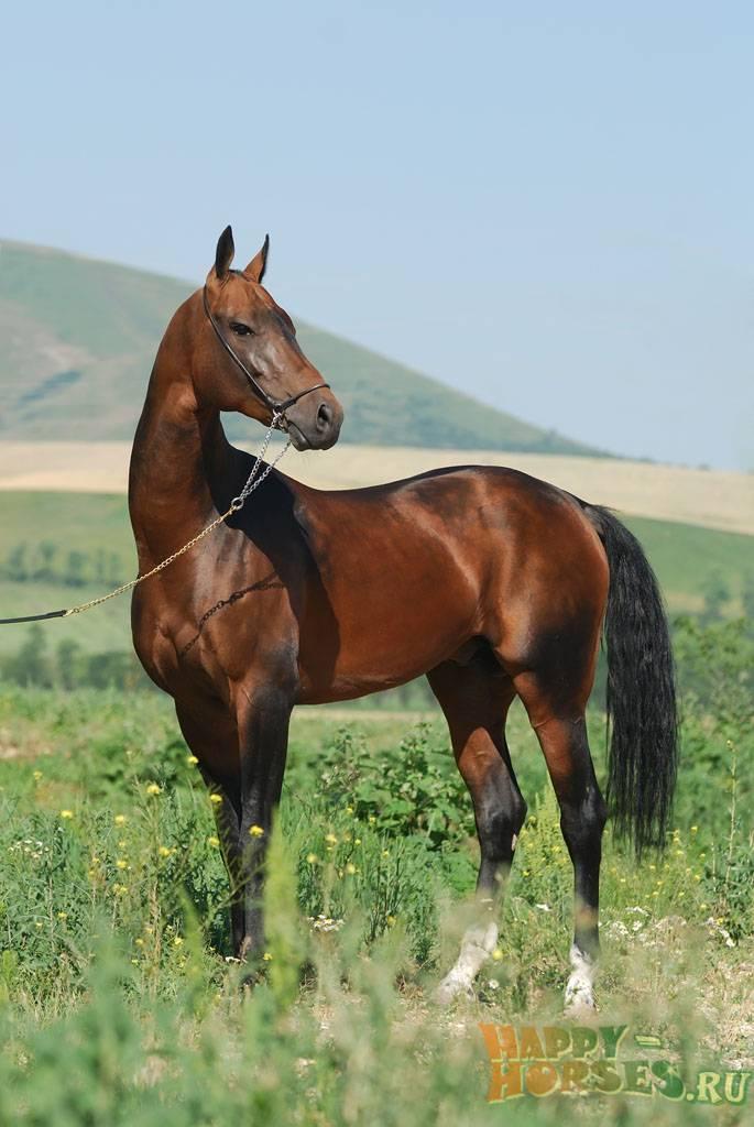 Ахалтекинская порода лошадей: фото и описание