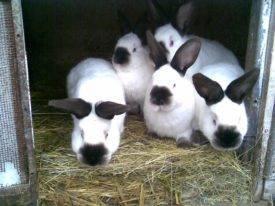 Калифорнийские кролики: разведение в домашних условиях