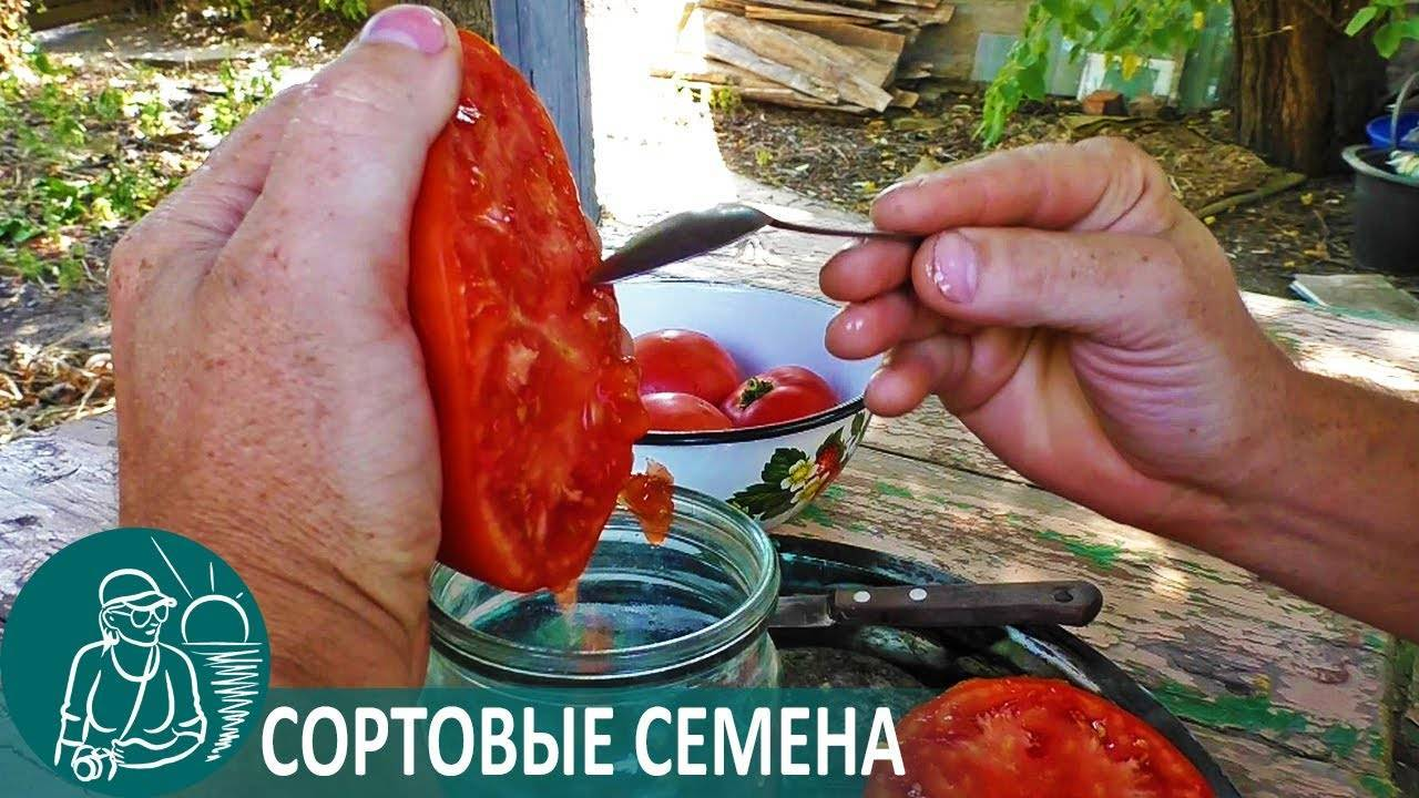 Как правильно собрать семена помидоров в домашних условиях – все о помидорках