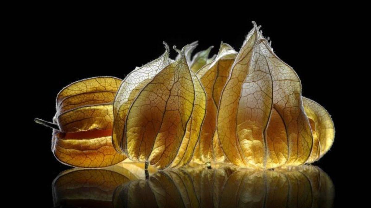 Как вырастить рассадным способом вкусные «китайские фонарики» физалиса?