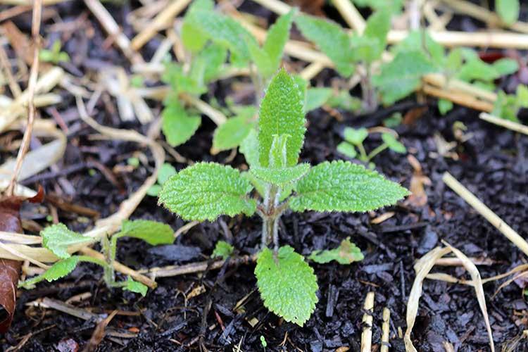 Артишок – применение, полезные свойства, выращивание, уход