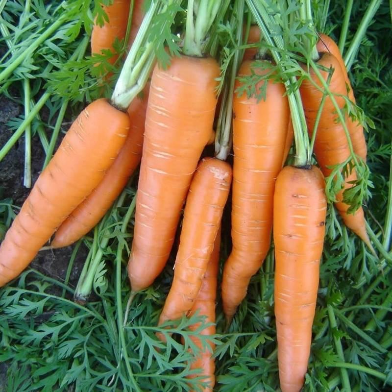 Морковь вита лонга: описание, фото, характеристика, особенности выращивания