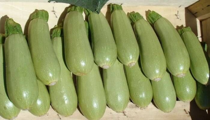 Кабачки белоплодные: сорта, посадка и уход