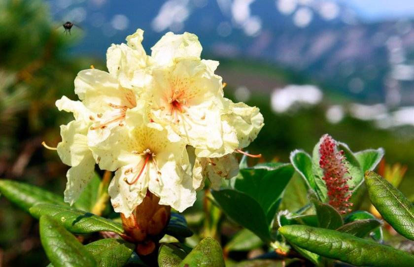 Рододендрон кавказский: лечебные, полезные, целебные свойства, противопоказания, польза, вред и применение