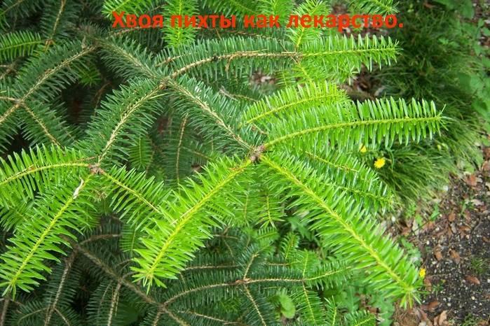 Разница между деревьями ёлки и ели