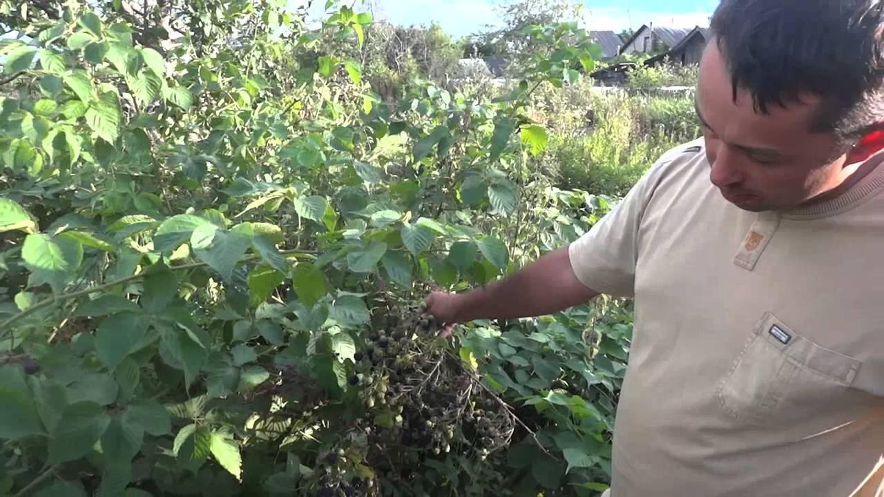 Ежевика агавам: особенности правильного ухода за кустарником и отзывы тех, кто выращивал сорт