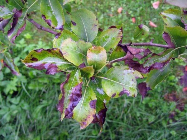 На груше чернеют и скручиваются листья — чем лечить