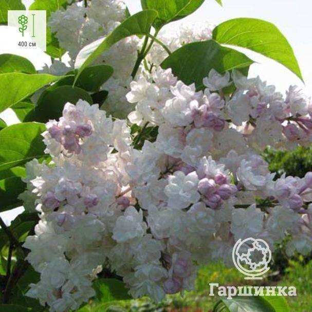 Сирень московская красавица уход посадка