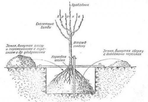 Сажаем яблоню весной правильно: сроки и правила посадки саженца