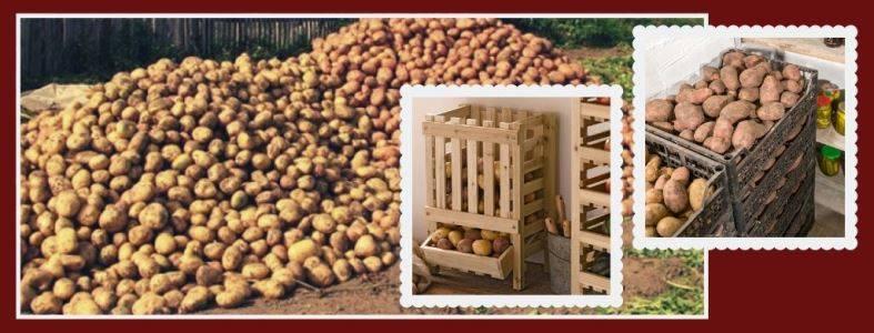 Как лечить картошку, если она заболела фитофторой