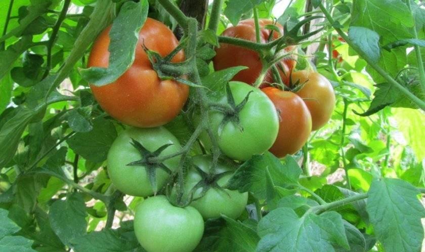 Описание сорта томата афродита, его урожайность и характеристики