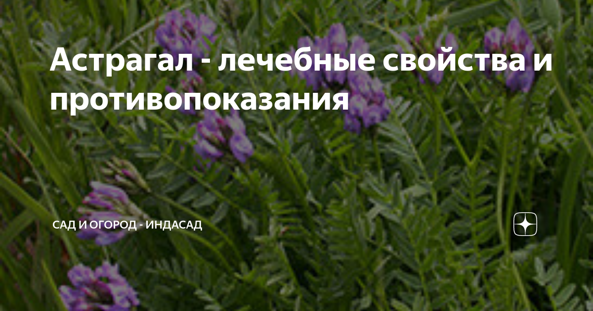Астрагал шерстистоцветковый: применение травы | food and health