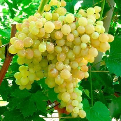 Описание сорта винограда «кишмиш 342» — если хотите вкусного винограда