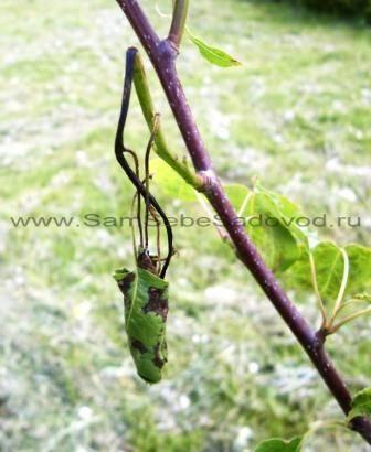 Скручивание листьев груши
