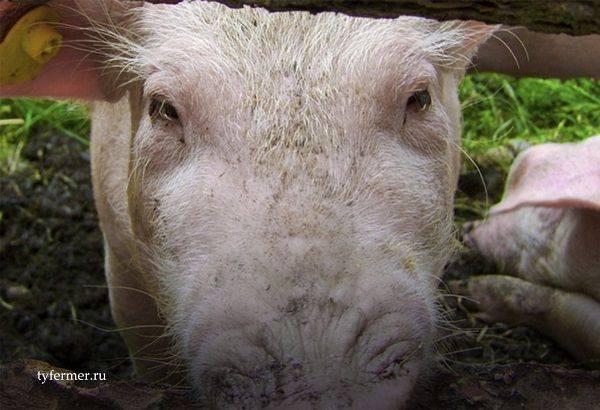 Отечная болезнь свиней (поросят): лечение и профилактика