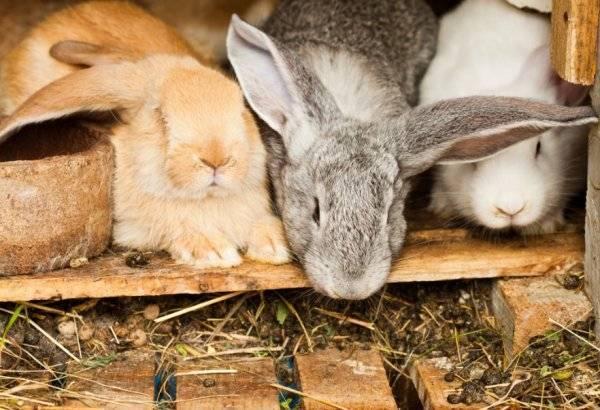 Навоз кроликов как удобрение: все о его применении в огороде