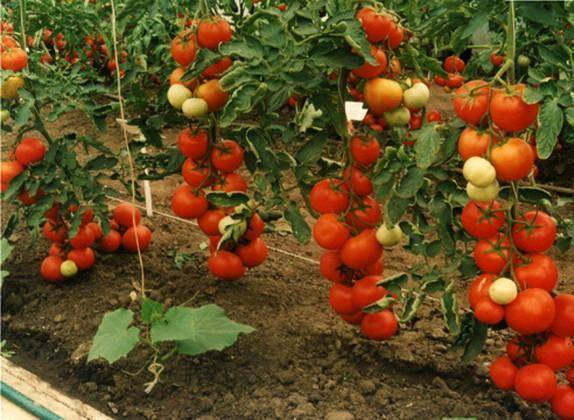 Томат пламя - характеристика и выращивание