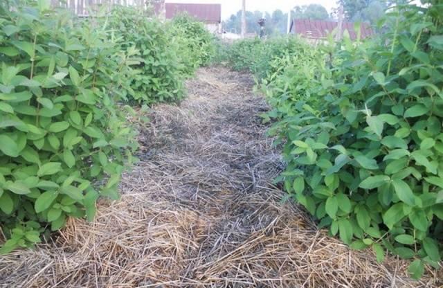 Съедобная жимолость томичка: характеристики сорта, особенности выращивания