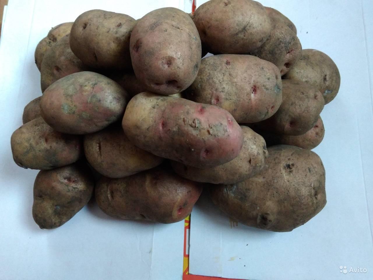 Картофель славянка: описание сорта, фото, отзывы, посадка, выращивание, уход
