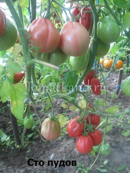 """Томат """"сто пудов"""": фото, характеристика и описание сорта, особенности выращивания помидоров"""