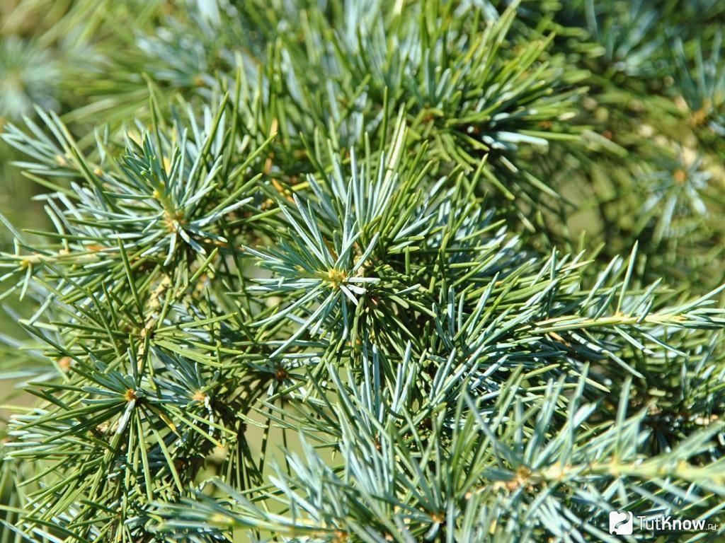 Циссус (cissus) — уход за растением, болезни и вредители