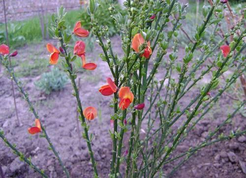 Ракитник: особенности выращивания в подмосковье