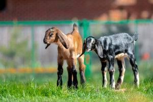 Англо-нубийские козы: описание, характеристики и условия содержания породы