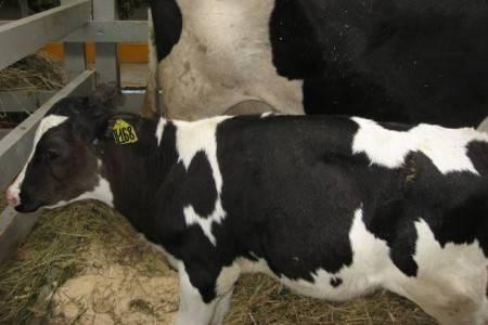 Обзор 8 самых распространенных болезней копыт у коров