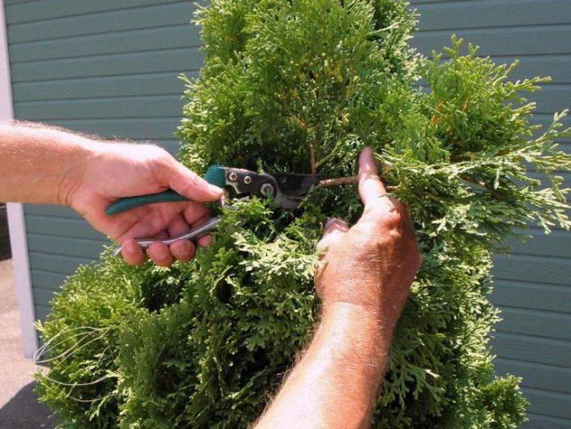 Обзор популярных низкорослых сортов можжевельника и их выращивание