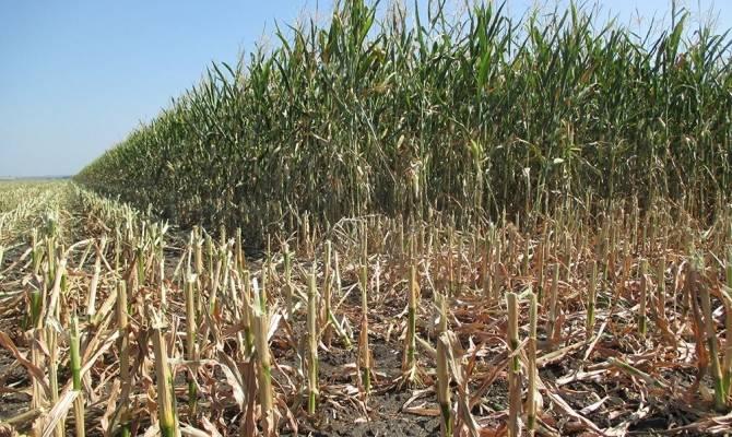 Технология выращивания кукурузы на зерно