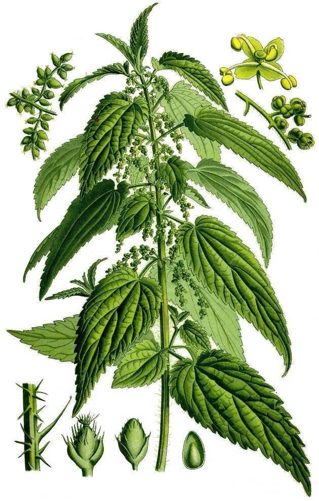 Лекарственное растение крапива: полезные свойства и противопоказания, лечебные рецепты применения в народной медицине и фармакологии