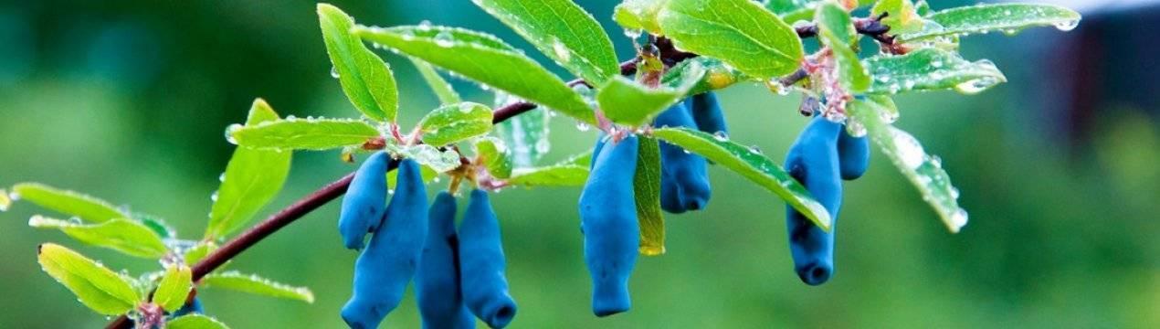 Жимолость бакчарская юбилейная: 7 особенностей и 10 советов по посадке и уходу