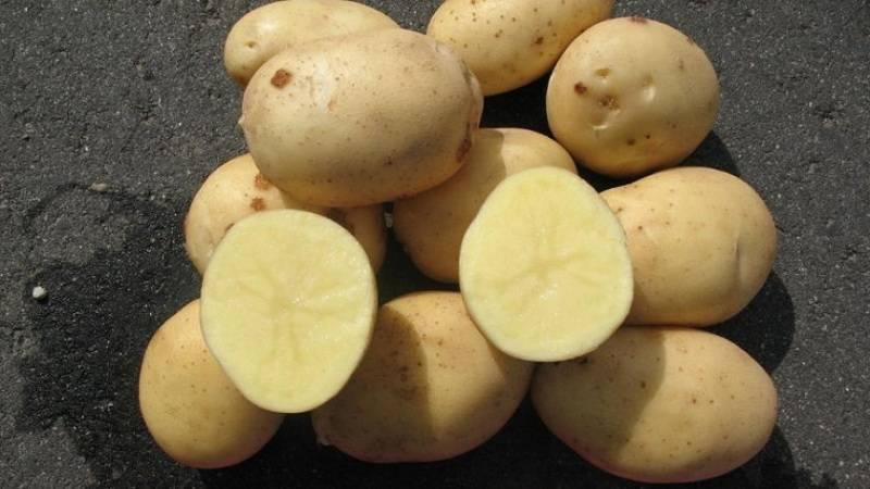 Картофель великан — описание сорта, фото, отзывы, посадка и уход