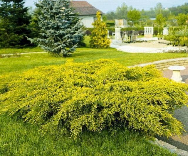Можжевельник средний голд стар (juniperus media gold star)