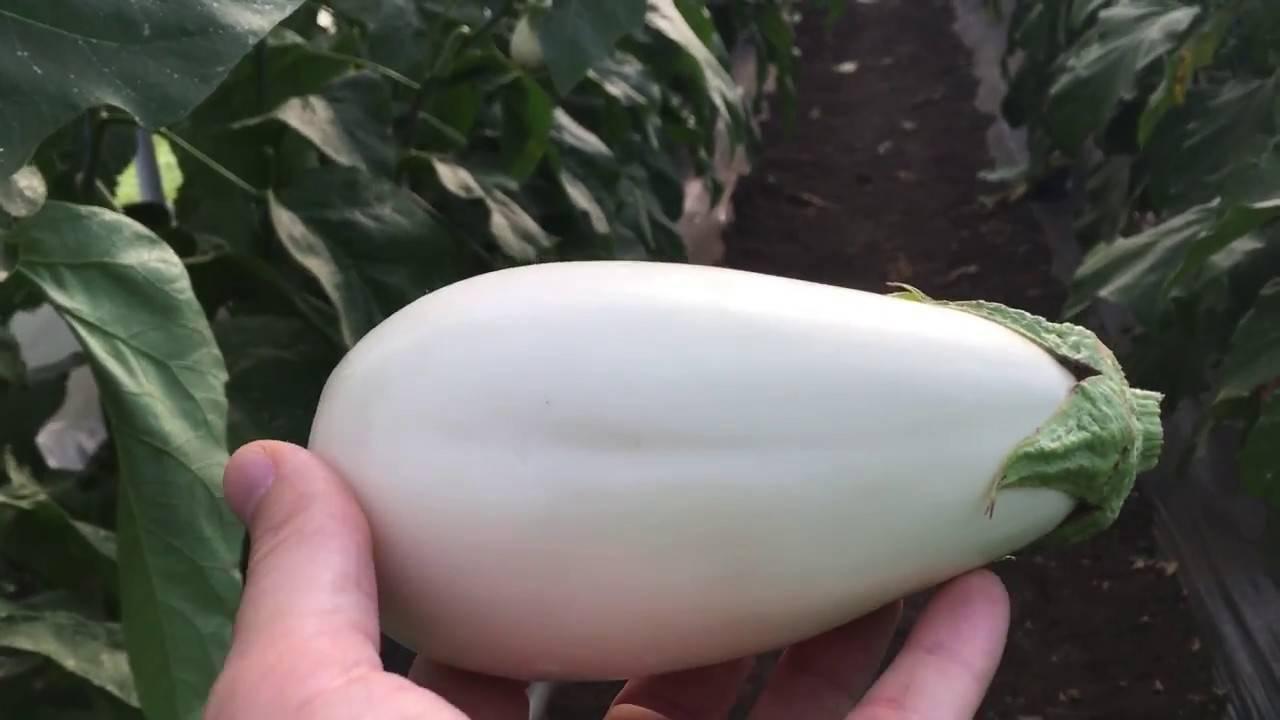 Характеристика баклажана сорта марципан