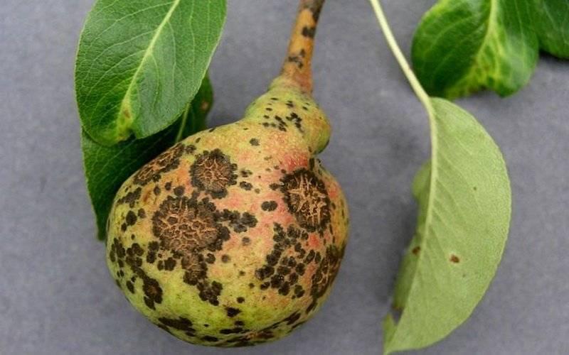 Опасны ли таинственные пятна на листьях герани и как от них избавиться?