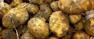 Основные причины потемнения картофеля