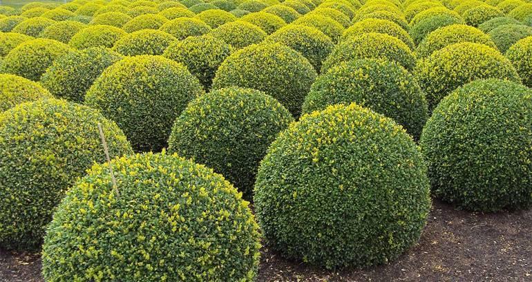 Самшит: железное дерево черноморья
