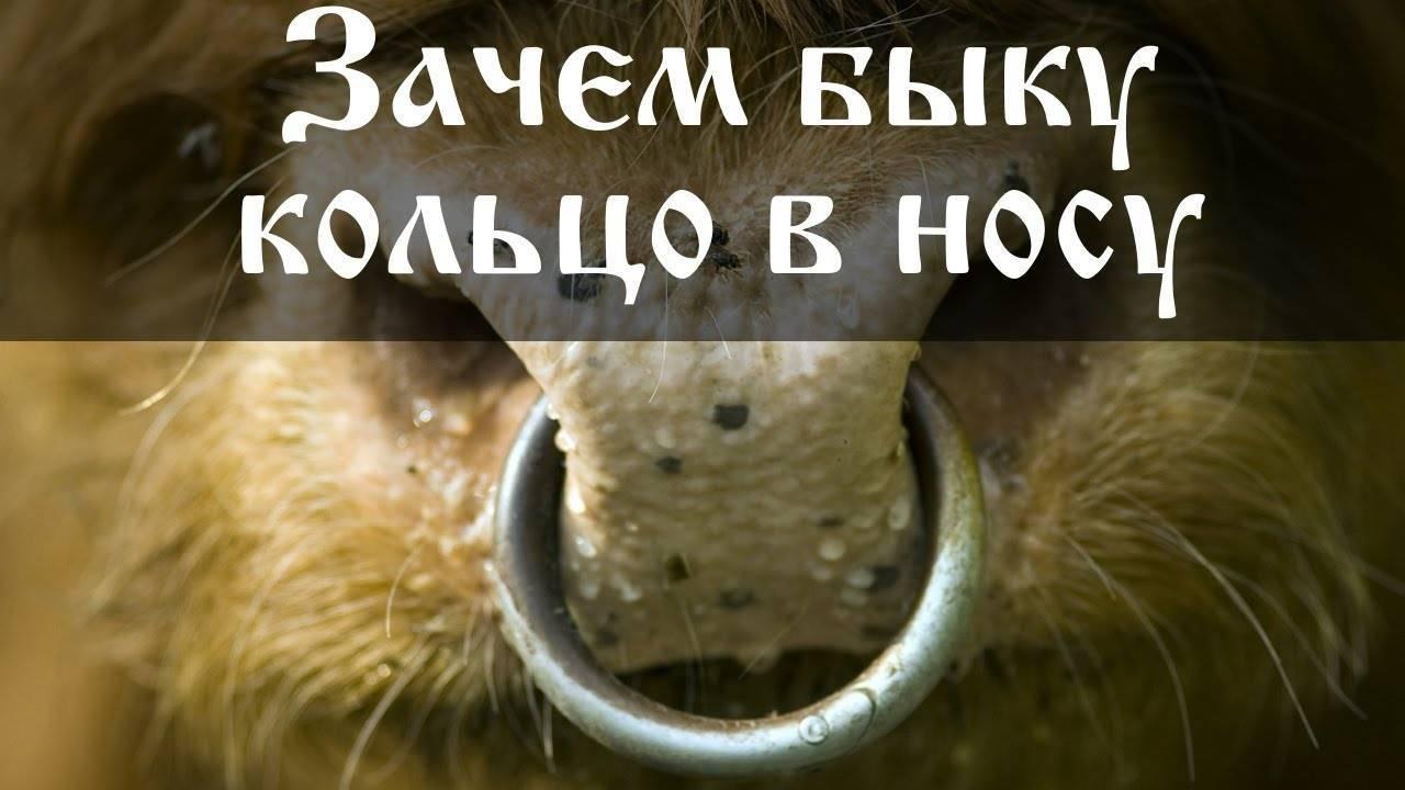 Зачем быкам вставляют в нос кольцо