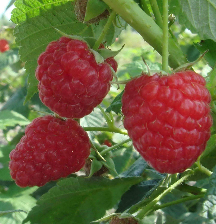 Столешник: плюсы и минусы сорта малины, вкусовые свойства, правила ухода