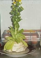 Пекинская капуста дома из кочерыжки - вырастим вместе