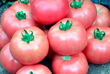 Описание сорта помидор «дикая роза»