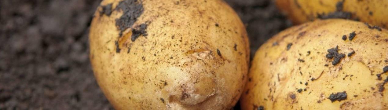 Обладатель нежного вкуса и устойчивости к засухами — картофель аризона: описание сорта