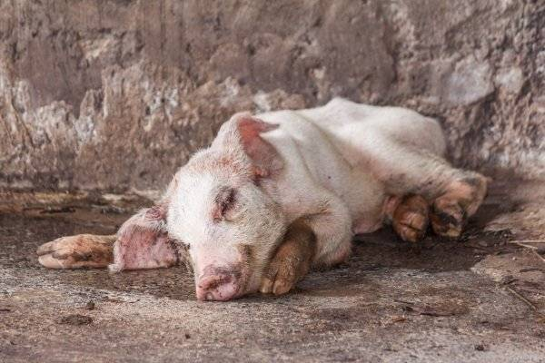 Болезнь тешена свиней: симптомы, диагностика, профилактика и лечение