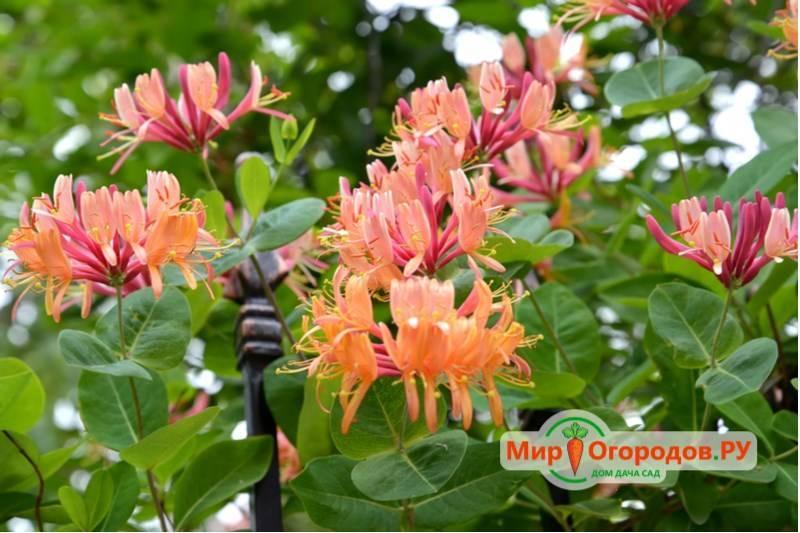 Декоративная ароматная лиана — жимолость каприфоль