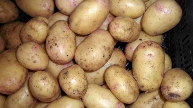 Сорт картофеля ирбитский: описание и характеристика, отзывы