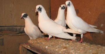 Характеристика и особенности иранских голубей