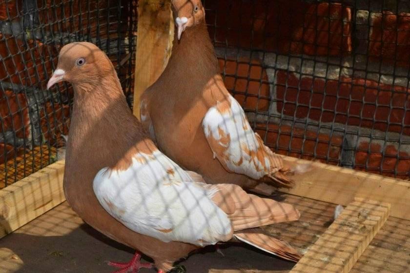Голуби бакинцы